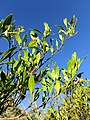 Dodonaea viscosa in Mexico.jpg