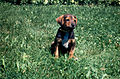 Dog sitting on grass (7257609304).jpg