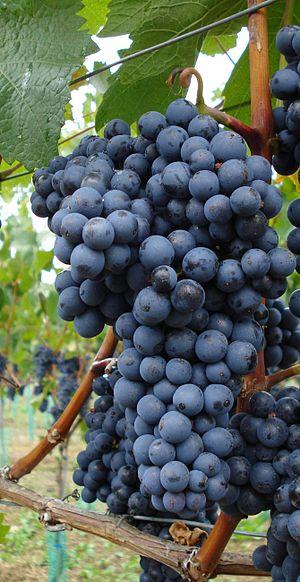 Domina (grape) - Image: Domina Rebsorte