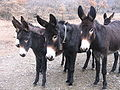 Donkey catalan.jpg