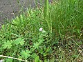 Dovesfoot Cranesbill (Geranium molle) - geograph.org.uk - 1334238.jpg