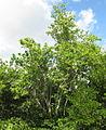 Dracaena reflexa - Mecufi (5669957728).jpg