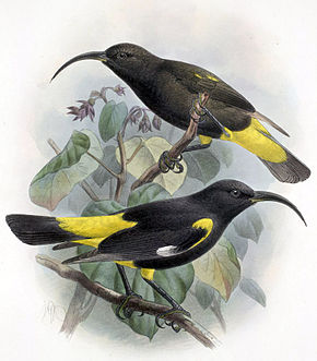 Description de l'image Drepanis pacifica-Keulemans.jpg.