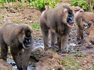Bioko drill Subspecies of Old World monkey