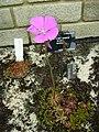 Drosera hamiltonii.jpg