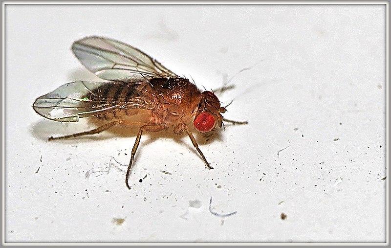 File:Drosophila melanogaster ♀ (38978426500).jpg