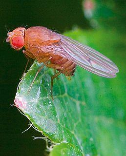 <i>Drosophila simulans</i> species of insect