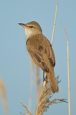 Drosselrohrsänger Great reed warbler.jpg