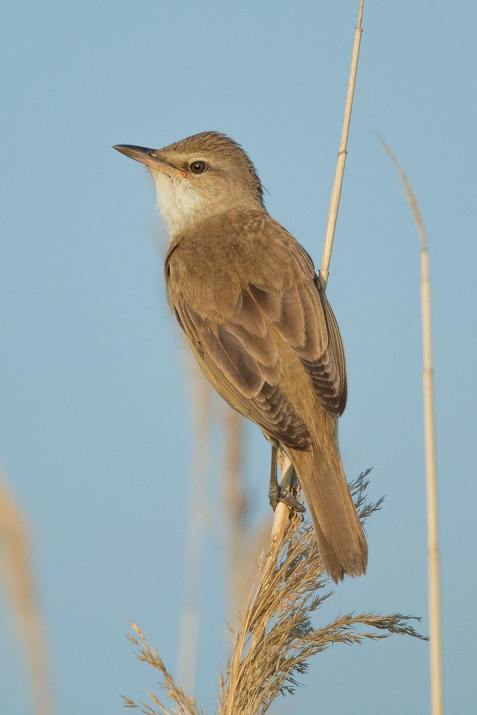 Drosselrohrsänger Great reed warbler