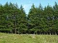 Drumshade Plantation - geograph.org.uk - 498259.jpg