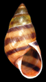 Drymaeus laticinctus shell.png