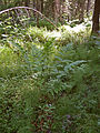 Dryopteris carthusiana Oulu, Finland 10.06.2013.jpg