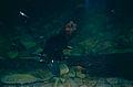 Duck-billed Platypus (Ornithorhynchus anatinus) (9995351303).jpg