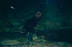 David Fleay Wildlife Park - Platypus at David Fleay's, 2000