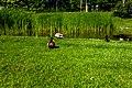 Ducks (28356529039).jpg