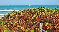 Dunes and sea Dania Beach, Florida - La flore et la flotte, beau ménage... - panoramio.jpg