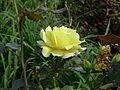 Dzika roza 7.JPG