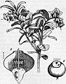 EB1911 - Ericaceae - Fig. 1.—Vaccinium vitis-idaea, with leaf and flower.jpg