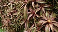 Earth Star (Cryptanthus bivittatus) 4.jpg