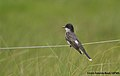Eastern Kingbird (5975058310).jpg