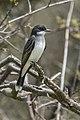 Eastern Kingbird - Point Pelee - Ontario (39783833592).jpg