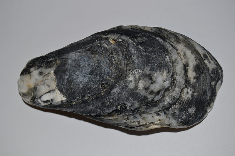 File:Eastern Oyster (Crassostrea virginica) Top (16114506758).jpg