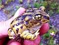 Eastern Spadefoot toad.jpg