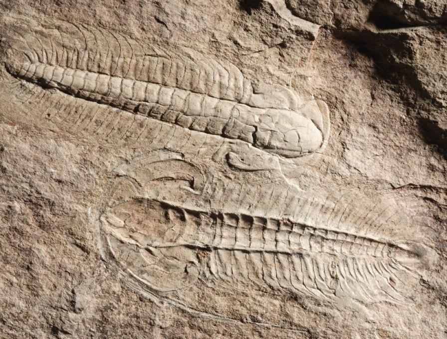 Eccaparadoxides mediterraneus - Murero, Zaragoza - Museo Ciencias Naturales Universidad Zaragoza