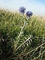 Echinops ritro (subsp. ruthenicus) sl31.jpg
