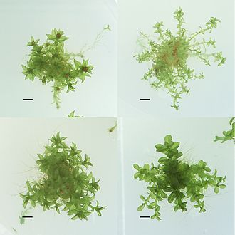 Ecotype - Four different ecotypes of Physcomitrella patens, stored at the International Moss Stock Center