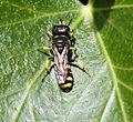 Ectemnius species. Crabronidae - Flickr - gailhampshire.jpg