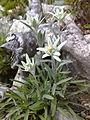 Edelweissblume.jpg