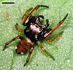 Edwards Zygoballus rufipes 01.jpg