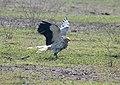 Egptian Vulture Im IMG 8688.jpg