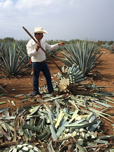 A jimador or a worker who harvests the agaves and cuts off the sharp leaves El jimador.JPG