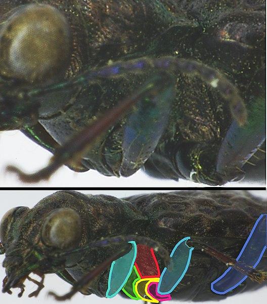 File:Elaphrus cupreus detail3.jpg