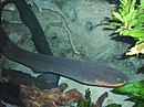 Electric-eel2.jpg