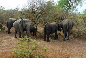 Sri Lankan elephant - A herd of elephants in Yala National Park