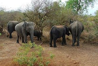 Sri Lankan elephant - A herd of elephants in Yala National Park