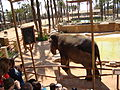 Elephant in Safari Elche 322.jpg