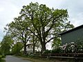 Ellerhoop, Naturdenkmal 44-01, 2 Stieleichen, Bild 02.jpg