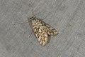 Elophila nymphaeata (35764710653).jpg