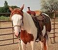 Elsa, Pinto Horse.jpg