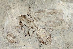 Emplastus - E. gurnetensis holotype