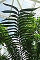 Encephalartos laurentianus-Jardin botanique Meise (10).jpg