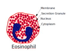 Eosinophil.png