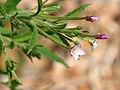 Epilobium ciliatum ssp ciliatum 9115.jpg