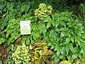 Epimedium versicolor 'sulphureum' (jardin des Plantes d'Avranches).jpg