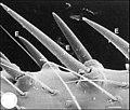 Epines d' Arachnocoris varius.jpg