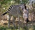 Equus quagga -Zambia-8.jpg